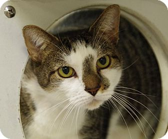 Domestic Shorthair Cat for adoption in Daytona Beach, Florida - Fossie