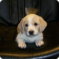 Adopt A Pet :: Tulu - Greenville, RI