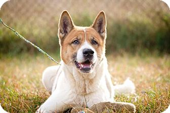 Akita Dog for adoption in Toms River, New Jersey - Bonsai