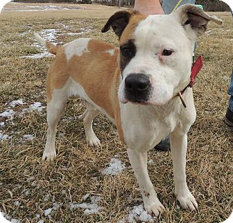 Boxer/Terrier (Unknown Type, Medium) Mix Dog for adoption in Sullivan, Missouri - Scout