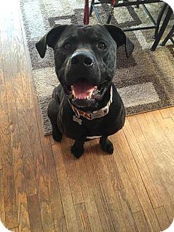 Mastiff Mix Dog for adoption in Grand Rapids, Michigan - Brutus