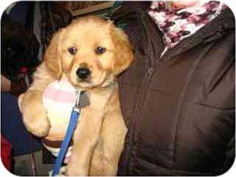 Golden Retriever Mix Puppy for adoption in Kirkland, Quebec - Adam