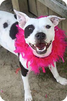 Dalmatian/Labrador Retriever Mix Dog for adoption in Darlington, South Carolina - Nyla
