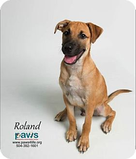 Shepherd (Unknown Type)/Black Mouth Cur Mix Puppy for adoption in Belle Chasse, Louisiana - Roland