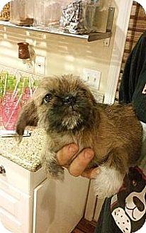 Pekingese/Shih Tzu Mix Puppy for adoption in Santee, California - Pandora