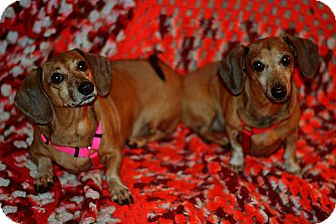 Dachshund Dog for adoption in Green Cove Springs, Florida - Hoot and Beans