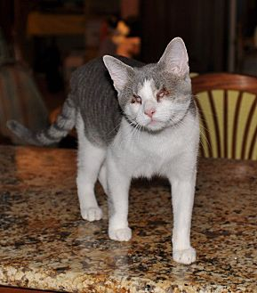 Domestic Shorthair Cat for adoption in St. Charles, Illinois - Lexie
