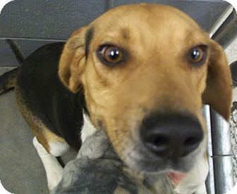 Beagle Dog for adoption in Greenville, Kentucky - snoopy