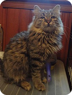Maine Coon Kitten for adoption in Absecon, New Jersey - Aiden