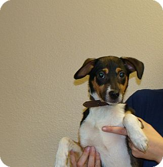Jack Russell Terrier/Tea Cup Poodle Mix Puppy for adoption in Oviedo, Florida - Max