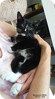Domestic Shorthair Kitten for adoption in Brightwaters,, New York - Remey