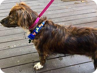Dachshund/Schnauzer (Miniature) Mix Puppy for adoption in Moosup, Connecticut - BETTY