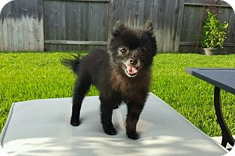 Pomeranian Dog for adoption in conroe, Texas - Jaden