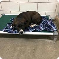 Adopt A Pet :: Athena - Kendall, NY
