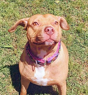American Staffordshire Terrier Mix Dog for adoption in Charlotte, North Carolina - Biloxi Hope