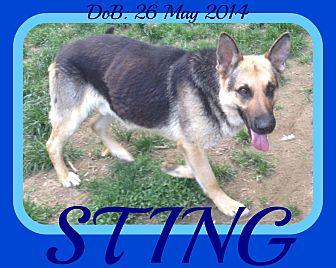 German Shepherd Dog Dog for adoption in New Brunswick, New Jersey - STING