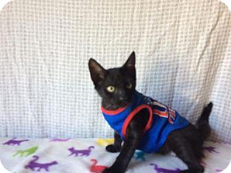 American Shorthair Kitten for adoption in San Marcos, Texas - boxer