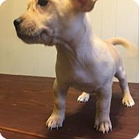 Adopt A Pet :: Sage - Paprika Pup - Encino, CA