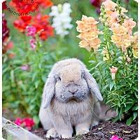 Adopt A Pet :: Houdini - Seattle c/o Kingston 98346/ Washington State, WA