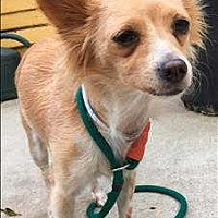 Adopt A Pet :: Rose - Encino, CA