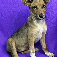 Adopt A Pet :: Pichu - Westminster, CO