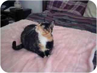 Domestic Shorthair Cat for adoption in Scottsdale, Arizona - Jasmine