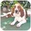 Photo 1 - Basset Hound Dog for adoption in Poway, California - Toby