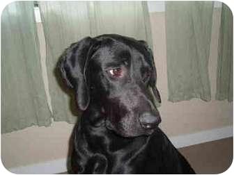 Great Dane/Labrador Retriever Mix Dog for adoption in Portland, Oregon - Beckham