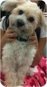 Havanese/Bichon Frise Mix Dog for adoption in San Pedro, California - Diego