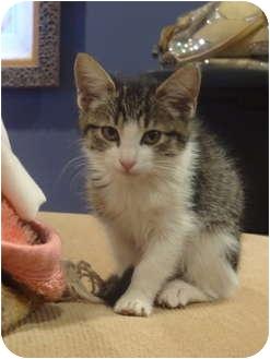 Domestic Mediumhair Kitten for adoption in Los Angeles, California - Samantha