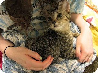 Domestic Shorthair Kitten for adoption in Chicago, Illinois - Parsley