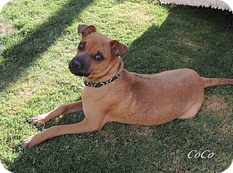 Chihuahua/Terrier (Unknown Type, Medium) Mix Puppy for adoption in Alamogordo, New Mexico - CoCo