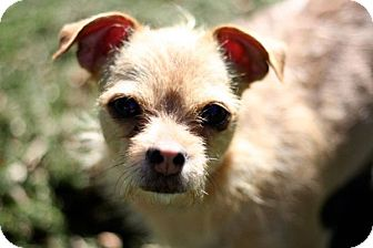 Chihuahua/Norwich Terrier Mix Dog for adoption in Long Beach, New York - Sasha