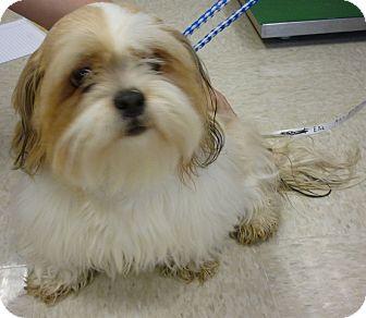 Lhasa Apso Mix Dog for adoption in Meridian, Idaho - Ellie
