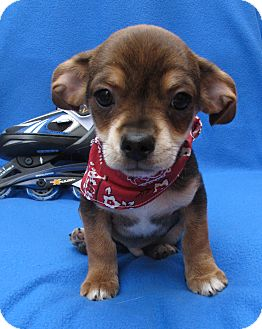 Dachshund/Jack Russell Terrier Mix Puppy for adoption in Irvine, California - Johnny Crash