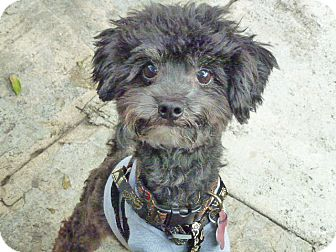 Poodle (Miniature) Mix Dog for adoption in Los Angeles, California - Tubby-VIDEO