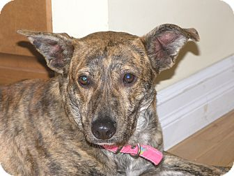 Dutch Shepherd/Labrador Retriever Mix Dog for adoption in Conway, New Hampshire - Brenna