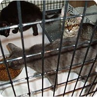 Adopt A Pet :: Gray and Tiger kittens - Westfield, MA