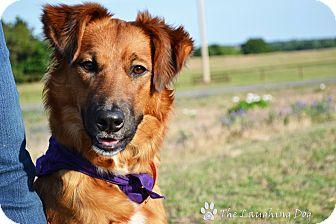 Golden Retriever/Border Collie Mix Dog for adoption in Perkins, Oklahoma - Hallie