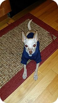Chihuahua Mix Dog for adoption in Chicago, Illinois - Buzz