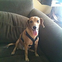 Dachshund Mix Dog for adoption in Fresno, California - Tippy Toes
