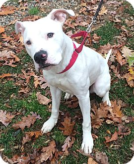 Pit Bull Terrier/Labrador Retriever Mix Dog for adoption in Bloomfield, Connecticut - The Duke