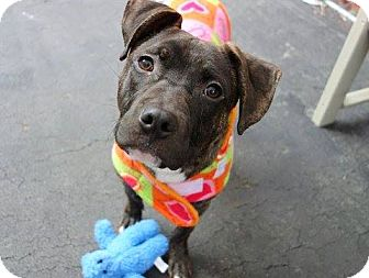 Pit Bull Terrier Mix Dog for adoption in albany, New York - SHILO