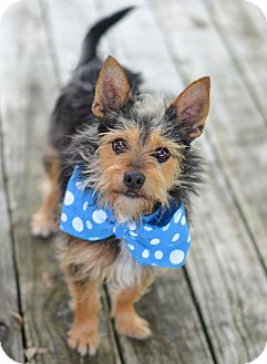 Yorkie, Yorkshire Terrier Mix Dog for adoption in Denver, Colorado - Rickey