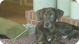 Labrador Retriever Mix Dog for adoption in Smithfield, North Carolina - Clancey