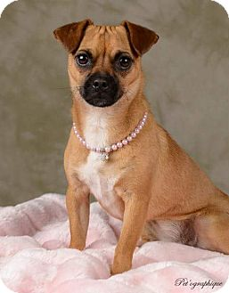 Pug Mix Puppy for adoption in Henderson, Nevada - Lady