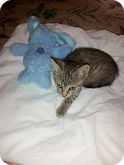 Domestic Shorthair Cat for adoption in Port Richey, Florida - Sweet Female Rescue Kitten