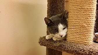 Domestic Shorthair Cat for adoption in Westbury, New York - Captain