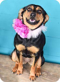 Miniature Pinscher Mix Dog for adoption in Denver, Colorado - Cowgirl