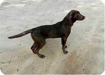 Labrador Retriever Mix Puppy for adoption in Ozark, Alabama - Sierra